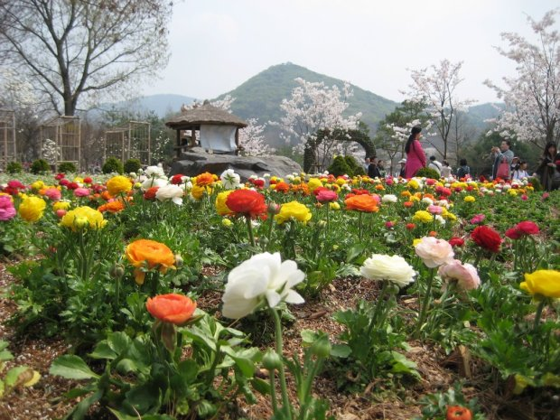 Roses in full bloom at Incheon Grand Park. Credit: panoramio.com