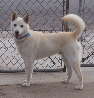 Jindo is home to the Jindo dog. Source: theworldofanimals.proboards.com