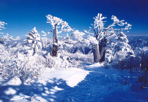 201016145457_태백산정상 주목나무