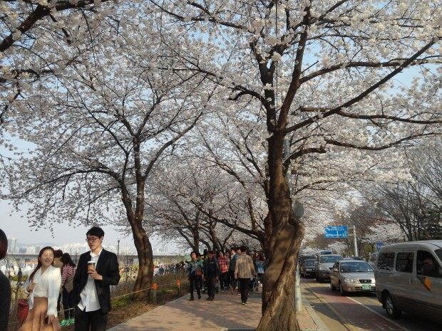 Cherry blossom trees along Yeouido Hangang Park.