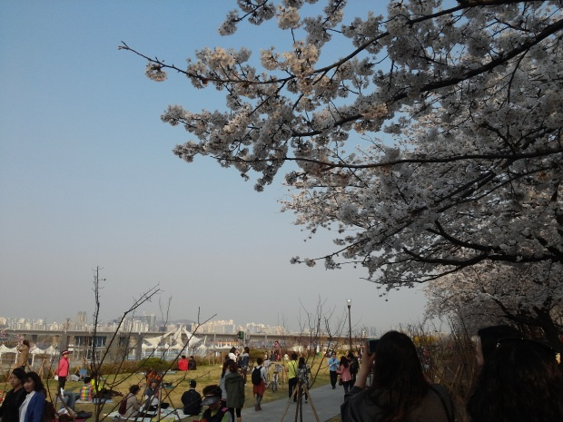 Cherry blossom tree with Yeouido Hangang Park in the background.