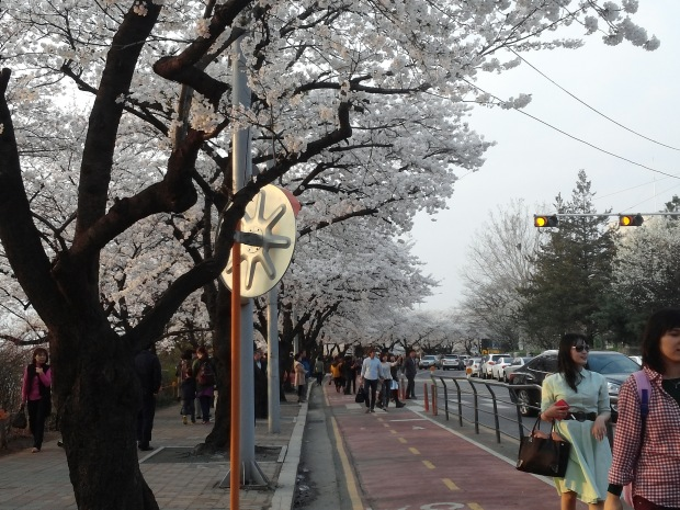 Cherry blossom trees along the KBS building in Yeouido