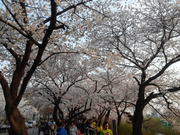 Cherry blossom trees along the Yeouido Hangang Park~