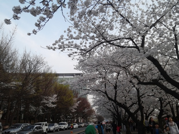 The rows and rows of cherry blossoms are indeed amazing!!