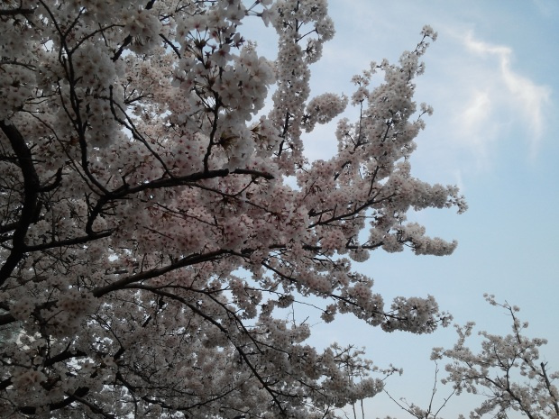 Cherry blossoms are one of the reason why I'm in love with spring :)