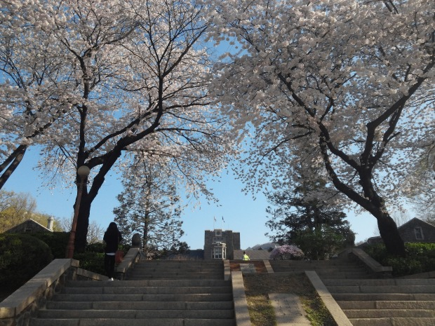 The area near the Underwood hall has the most beautiful cherry blossom trees on the Yonsei Sinchon campus!
