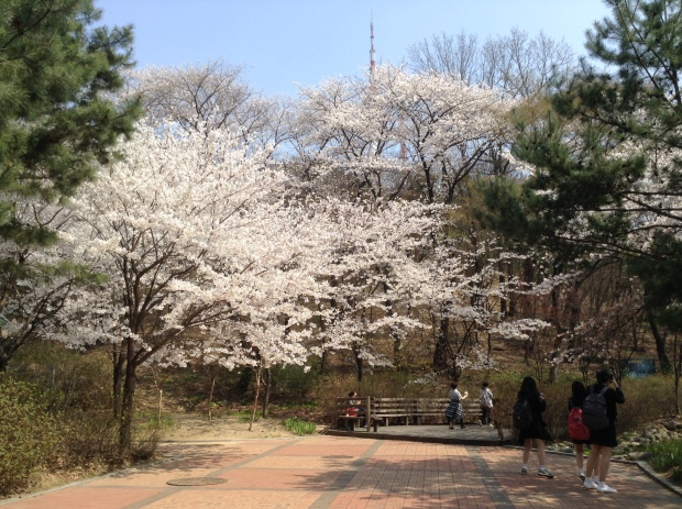 Cherry blossoms at Namsan Park