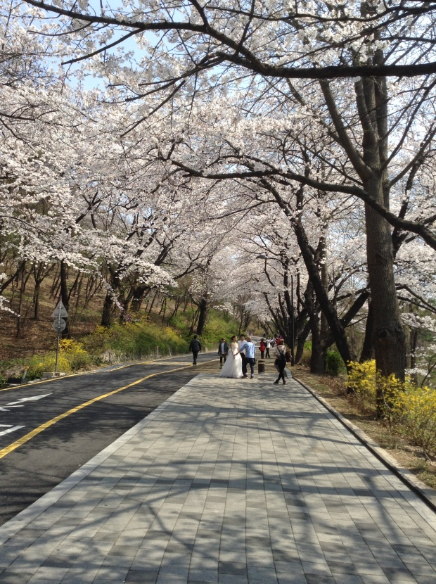 Spring weddings are extremely popular in Korea. Who wouldn't want to take wedding photos with these beautiful flowers!